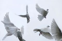 Carrier pigeons. White pigeons flying up in the sky Royalty Free Stock Image