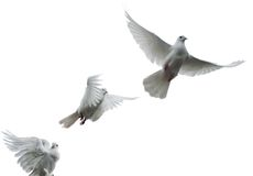 Carrier pigeons. Three white pigeons flying upwards Royalty Free Stock Image