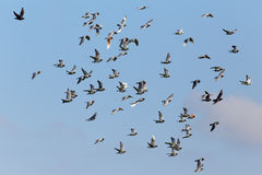 Carrier pigeons in flight. During their daily training Royalty Free Stock Photos