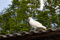 Carrier pigeons on roof ridge Royalty Free Stock Image