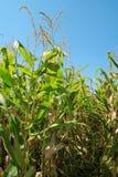 Carril del campo de maíz Imágenes de archivo libres de regalías