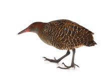 Carril pizarroso-breasted (striatus del Gallirallus) imagen de archivo