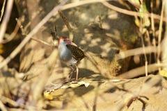 Carril pizarroso-breasted, striatus del Gallirallus, río de Zuari, Goa, la India imagen de archivo libre de regalías