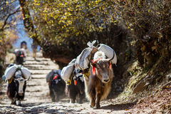 carring重量的牦牛在尼泊尔 图库摄影