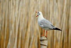 Carrinho da gaivota no bambu Fotos de Stock Royalty Free