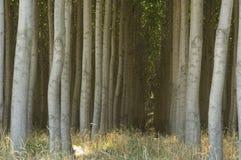Carrinho de árvores de poplar cultivadas. fotos de stock royalty free