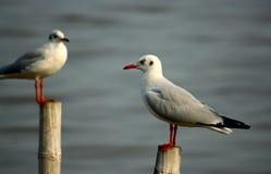 Carrinho de duas gaivotas no bambu Imagens de Stock