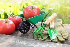 Carrinho de mão pequeno do jardim com os tomates, o ancinho, a pá e as luvas maduros vermelhos Imagem de Stock Royalty Free
