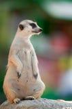 Carrinho de Meerkats sozinho na pedra Foto de Stock