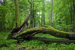 Carrinho Deciduous da floresta de Bialowieza imagens de stock
