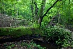 Carrinho Deciduous da floresta de Bialowieza na primavera fotografia de stock