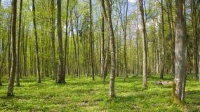 Carrinho Deciduous da floresta de Bialowieza na primavera imagem de stock
