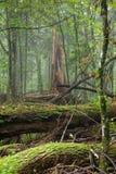 Carrinho Deciduous da floresta de Bialowieza no verão imagem de stock royalty free