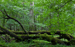 Carrinho Deciduous da floresta de Bialowieza no verão foto de stock