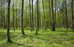 Carrinho Deciduous da primavera da floresta de Bialowieza fotos de stock