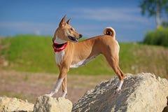 Carrinho do cão de Basenjis Foto de Stock
