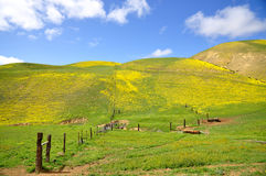 Carrizo Plain Wildflower Royalty Free Stock Photos