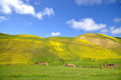 Carrizo Plain Wildflower Royalty Free Stock Image