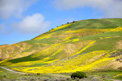 Carrizo Plain Wildflower Stock Images