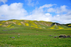 Carrizo Plain Wildflower Royalty Free Stock Photo