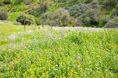 Carrizo Plain Wildflower Royalty Free Stock Photography