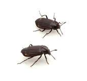 Carrion Beetle Fotos de Stock