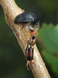 Carrion beetle and earwig about an empty shell. Stock Images