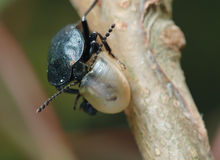 Carrion beetle about an empty shell. Stock Photos