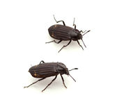 Carrion Beetle Stock Photos