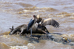 Carrion birds on the river Stock Photography