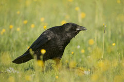 carrion corone corvus wrona Obrazy Royalty Free