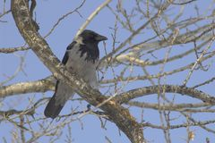 Carrion (Corvus corone). Carrion on a branch (winter, sunny Stock Images