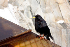 Carrion craw in French Alps Stock Images