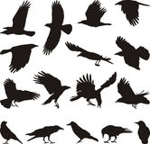 Carrion crow. Black silhouettes of bird on the white background Stock Photography