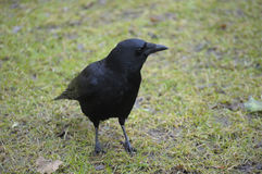 Carrion Crow Stock Photo