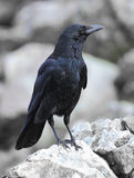 Carrion Crow Photographie stock libre de droits