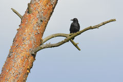 Carrion Crow Royaltyfri Foto