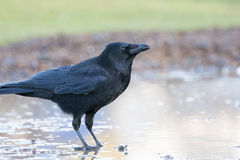 Carrion Crow Imagens de Stock Royalty Free
