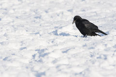 Carrion Crow Imagens de Stock
