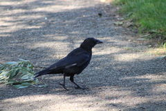 Carrion Crow Royaltyfria Foton