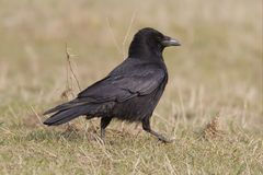 Carrion Crow. A carrion crow on the ground Royalty Free Stock Images
