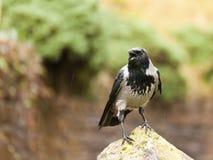 Carrion Crow Royaltyfria Foton
