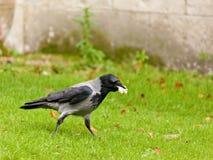 Carrion Crow Arkivbild