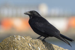 Carrion Crow Stock Fotografie