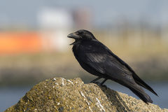 Carrion Crow Stock Afbeeldingen