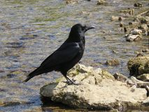 Carrion Crow image stock