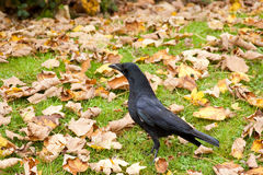 Carrion Crow Alert Amougst Autumn Fall Leaves Royalty Free Stock Image