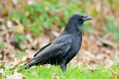 Carrion Crow With Autumn Fall Colors Stock Photos