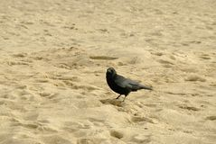 Carrion Crow on a beach. Royalty Free Stock Photos