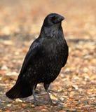 Carrion Crow On The Beach stockbilder
